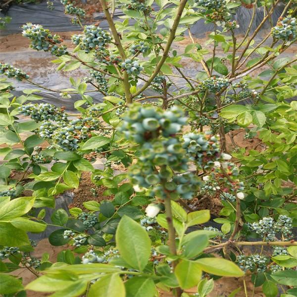蓝莓的种植方法  青岛蓝莓苗哪里有卖 适合南方种蓝莓品种有哪
